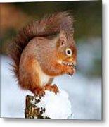 Red Squirrel Portrait Metal Print