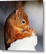 Red Squirrel With Nut In Snow Metal Print