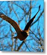Red Tail Hawk In Flight Metal Print