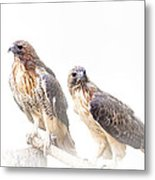 Red Tail Hawk Pair On White Background Metal Print