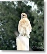 Red Tail Hawk Waiting On A Pole Metal Print