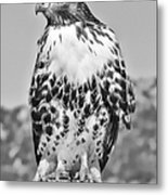 Red Tail Hawk Youth Black And White Metal Print