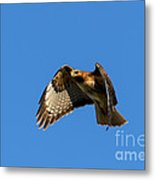Red-tail Hover Metal Print