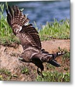 Red Tail On The Hunt Metal Print