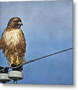 Red Tail On Watch Metal Print
