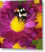 Red-tailed Bumble Bee Metal Print