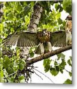 Red-tailed Fledges Metal Print
