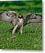 Red-tailed Hawk & Gopher Snake Metal Print