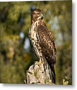 Red Tailed Hawk 1 Metal Print