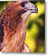 Red Tailed Hawk - 59 Metal Print