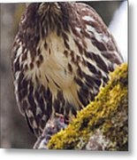 Red Tailed Hawk - Breakfast Close Up Metal Print