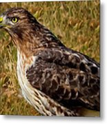 Red Tailed Hawk Close Up Metal Print