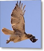Red Tailed Hawk Metal Print
