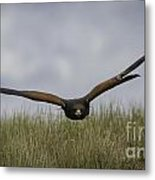 Harris Hawk Hunting Metal Print