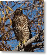 Red-tailed Hawk In A Willow Tree Metal Print