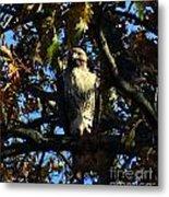 Red Tailed Hawk In Tree Metal Print