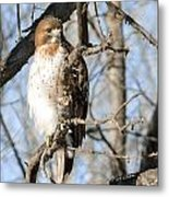 Red-tailed Hawk Looking Metal Print