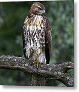 Red-tailed Hawk On Oak Metal Print