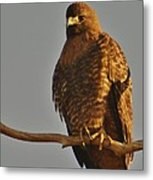 Red-tailed Hawk Rufous-morphed Metal Print by Sara Edens