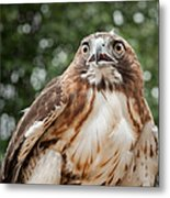 Red-tailed Hawk Square Metal Print by Bill Wakeley