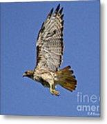 Red-tailed Hawk Takeoff Metal Print