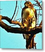 Red-tailed Hawk Watching Metal Print