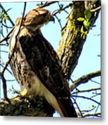 Red Tailed Interest Metal Print