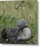 Red-throated Loon With Chick On Nest Metal Print