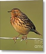 Red-throated Pipit On A Fence Metal Print