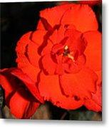 Red Tuberous Begonia Flower Metal Print