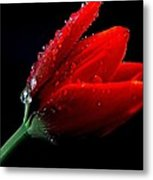 Red Tulip With Water Drops Metal Print