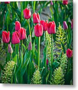 Red Tulips In Skagit Valley Metal Print