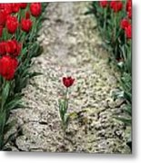 Red Tulips Metal Print by Jim Corwin
