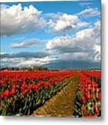 Red Tulips Of Skagit Valley Metal Print