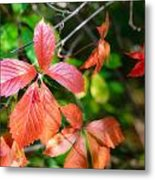 Red Viginia Creeper And Maple Leaves Metal Print