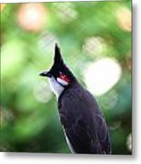 Red Whiskered Bulbul Metal Print