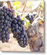 Red Wine Grapes Growing On Old Grapevine Metal Print