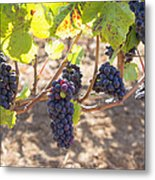 Red Wine Grapes Hanging On Grapevines Metal Print