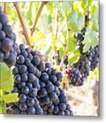 Red Wine Grapes Hanging On Grapevines Vertical Metal Print