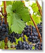 Red Wine Vineyard 3 Metal Print