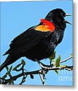 Red Wing Blackbird 2 Metal Print
