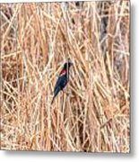 Red Wing Blackbird  Metal Print