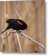 Red Winged Blackbird 1 Metal Print by Ernie Echols