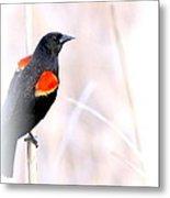 Red-winged Blackbird - Colors Metal Print