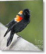 Red-winged Blackbird Display Metal Print