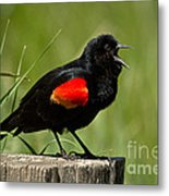 Red-winged Blackbird Singing Metal Print
