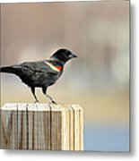 Red Winged Blackbird Metal Print