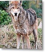 Red Wolf Alert Metal Print