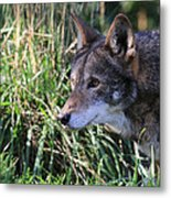 Red Wolf On The Hunt Metal Print