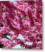 Redbud In Bloom Metal Print